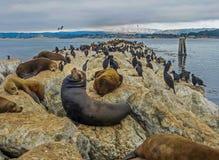 Залив Монтерей, CA США - морсые львы причала ` s рыболова Стоковая Фотография RF