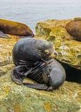 Залив Монтерей, CA США - морсые львы причала ` s рыболова Стоковые Изображения