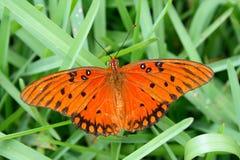 залив fritillary бабочки стоковая фотография