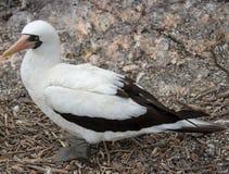 Замаскированная птица олуха на островах Галапагос стоковая фотография rf