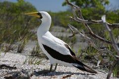 Замаскированная птица олуха Стоковое Изображение RF