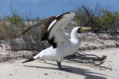 Замаскированная птица олуха Стоковое Изображение