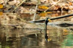 Замаскированная птица Finfoot [personatus Heliopais] Стоковая Фотография RF