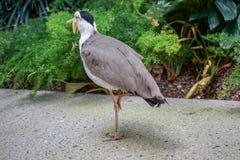 Замаскированная птица Lapwing, мили Vanellus, также как замаскированная ржанка или, который Шпор-подогнали ржанка стоковое изображение rf