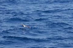 Замаскированное звероловство олуха для летучей рыбы стоковые фото