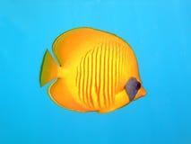 замаскированное butterflyfish Стоковое Изображение