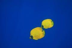 замаскированное butterflyfish Стоковая Фотография