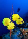 Замаскированные рыбы и водолаз бабочки Стоковая Фотография RF