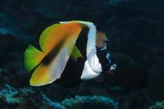 Замаскированные bannerfish Стоковое Фото