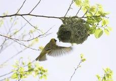 Замаскированный ткач в полете на гнездо Стоковое Фото