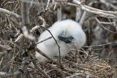 Замаскированный цыпленок птицы олуха на островах Галапагос стоковая фотография rf