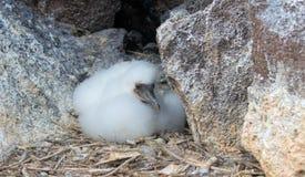 Замаскированный цыпленок птицы олуха на островах Галапагос стоковые изображения