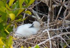 Замаскированный цыпленок птицы олуха на островах Галапагос стоковое фото rf