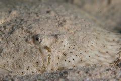 Замаскированный flounder Стоковая Фотография