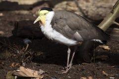 Замаскированный lapwing, мили Vanellus, имеет щитки отличительные кожи в своем клюве стоковые изображения rf