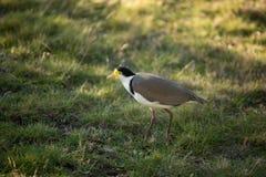 замаскированный lapwing птицы Стоковые Изображения RF