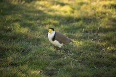 замаскированный lapwing птицы Стоковое Изображение