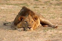 Замбия: Львица лежит на песке и ослабляет на южном Luang стоковое изображение