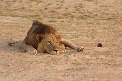 Замбия: Львица ослабляя в теплом песке на южном Luangwa стоковые фотографии rf