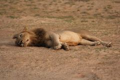 Замбия: Львица ослабляя в теплом песке на южном Luangwa r стоковые изображения rf