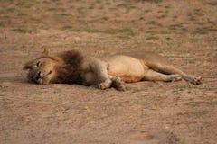 Замбия: Львица ослабляя в теплом песке на южном Luangwa r стоковая фотография