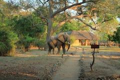 Замбия слона скрещивания одичалая стоковое фото rf