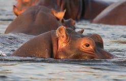 Замбия: Смотреть гиппопотама головной из более низкого реки Zambesi стоковые фотографии rf