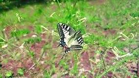 Замедленное движение белой и желтой бабочки собирая нектар от цветка и после этого летает идет прочь на зеленую предпосылку листь сток-видео