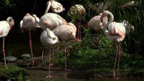 Замедленное движение больших фламинго воюя в озере среди деревьев на зоопарке акции видеоматериалы