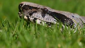 Замедленное движение змейки горжетки видеоматериал