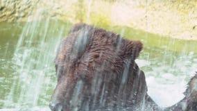 Замедленное движение, конец вверх бурого медведя купая в водопаде Дикий Ursus Arctos акции видеоматериалы