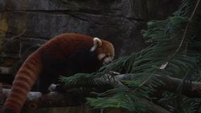 Замедленное движение, крупный план красной панды схватывая узкие ветви дерева в лесе видеоматериал