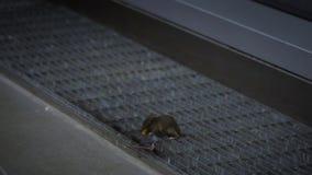 Замедленное движение 2 мышей figthing для еды внутри дома видеоматериал