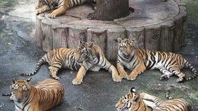 Замедленное движение тигра сток-видео