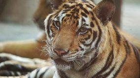 Замедленное движение тигра акции видеоматериалы