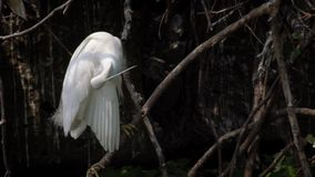 Замедленное движение Egretta Garzetta взрослой птицы белого на дереве Город Тайбэя видеоматериал