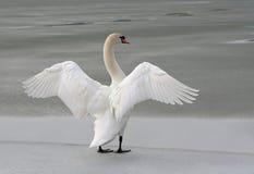 замерзано своему озеру вне протягивая крыла лебедя Стоковые Изображения RF