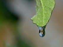 замерли капелькой, котор вода листьев Стоковая Фотография RF