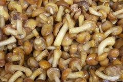 Замерли пластинчатые грибы меда, который Красивые грибы леса, который замерли в a стоковые фото