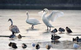 замерли утками, котор лебеди озера безгласные Стоковая Фотография RF