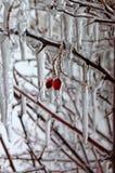 замерли ягода, котор Стоковое Фото