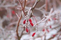 Замерли ягоды барбариса покрытые с ледяными кристаллами стоковые изображения