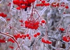 замерли ягоды, котор Стоковые Фото