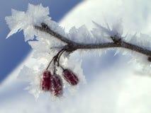 замерли ягоды, котор Стоковое фото RF