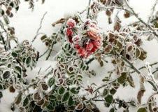 замерли цветок, котор Стоковые Фотографии RF