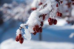 замерли ягоды, котор Стоковая Фотография