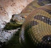 Заметливая змейка constrictor, смотря в камере стоковое фото rf