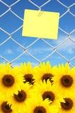 заметьте желтый цвет солнцецвета Стоковые Изображения