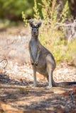 Заметливый кенгуру Стоковое Фото