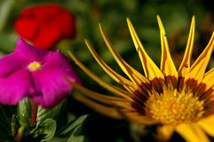 Замечательные желтые и красные цветки стоковое фото rf